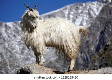 Himalayan Pashmina goat in the mountains near Triund, northern India