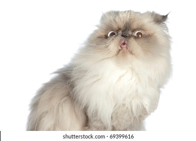 Himalayan Persian, very nice and cute animal with stupid grimace