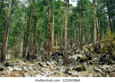 Himalayan pine and Roxburg pine. Coniferous forests on the slopes of the Pre-Himalayas, valley of the river Parvati. India