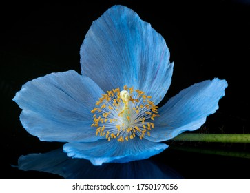 Himalayan Poppy. Vibrant blue with a yellow centre. Detailed, Macro image set on a black background.