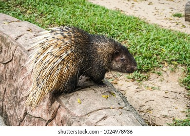 Himalayan porcupine (Hystrix brachyura) in zoolical park