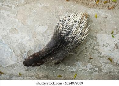 Himalayan porcupine (Hystrix brachyura) in zoolical park. Top view