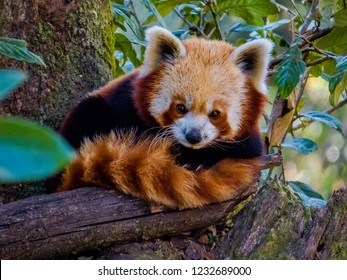Himalayan red panda sitting on the branch of a tree in Darjeeling