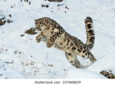 Himalayan Snow Leopard on the hunt
