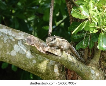 Himalayan Striped Squirrel Images, Stock Photos & Vectors