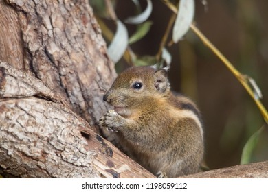 Himalayan Striped Squirrel sits on a branche holding a nut