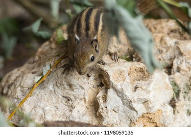 Himalayan Striped Squirrel sits on a stone