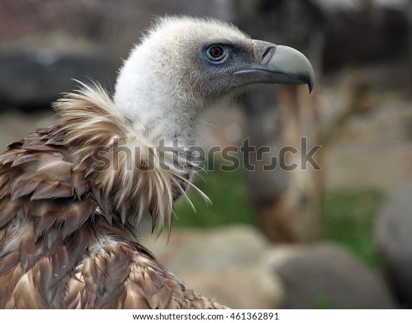The Himalayan vulture or Himalayan griffon vulture (Gyps himalayensis)  head