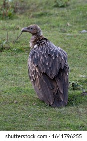 Himalayan vulture or Himalayan griffon vulture is an Old World vulture in the family Accipitridae. Closely related to the European griffon vulture