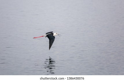 Himantopus himantopus. Common stilt in flight over the surface of the water.