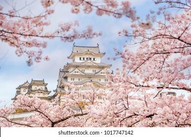 Himeji castle with sakura cherry blossom season in Japan