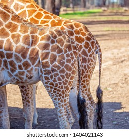 Hind quarter view of the tallest living terrestrial animal and largest ruminants are the distinctively patterned giraffe.