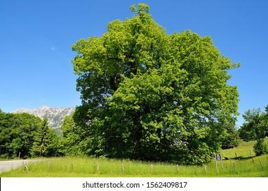 Hindenburg-Linde, lime tree 1100 years, Large-leaved Lime (Tilia platyphyllos), height 30m, girth 11.5m, Ramsau bei Berchtesgaden, Berchtesgadener Land District, Upper Bavaria, Bavaria, Germany