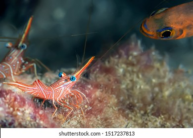 Hinge-beak Shrimp (Rhynchocinetes durbanensis) on the coral reef. Underwater photography, Sri Lanka.