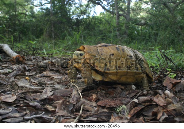Hinged Turtoise Kinixys belliana