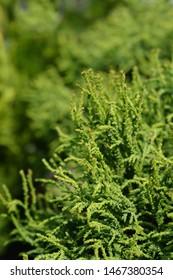 Hinoki cypress Birgit - Latin name - Chamaecyparis obtusa Birgit