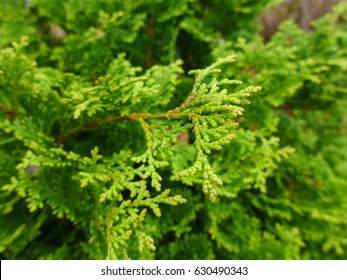 Hinoki Cypress early spring new growth