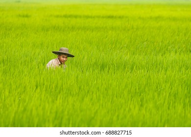 HINTHADA, MYANMAR - SEP 1: Local farmer work in the paddy field at Laymyatna district on Sep 1, 2015 in Hinthada, Ayeyarwady (Irrawaddy) Division, Myanmar.