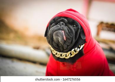 Hip Hop Pug dog.(Funny fcae of pug dog wearing red hood rapper costume.)