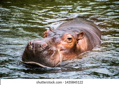 Hip hop, soaked in water with relaxing symptoms  ,hippopotamus  Is a wild animal that looks cute but dangerous.
