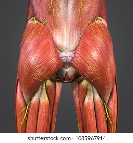 Hip muscle anatomy with skeleton and nerves posterior view 3d illustration