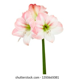Hippeastrum or Amaryllis flowers ,Pink amaryllis flowers isolated on white background, with clipping path