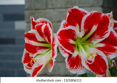 Hippeastrum Amaryllis red flowers. Beautiful bouquet of flowers blooming in front of the block wall building background.