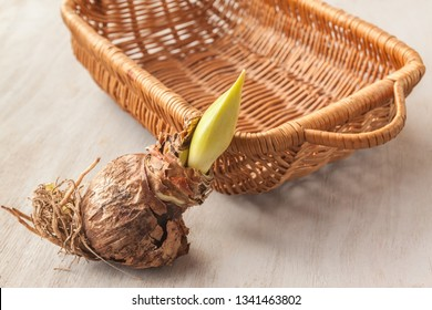 Hippeastrum bulb with bud and young daughter bud in the basket before planting.