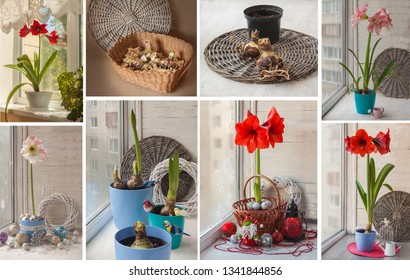 Hippeastrum bulbs set during storage and the composition of the flowering Hippeastrum on the window for the holidays