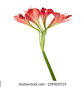 Hippeastrum Hybrid or Amaryllis flowers, Red amaryllis flowers isolated on white background, with clipping path
