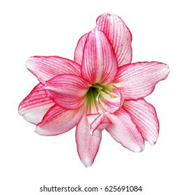 Hippeastrum johnsonii Bury isolated on white background. (whit clipping path)