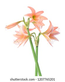 Hippeastrum johnsonii isolated on white background.