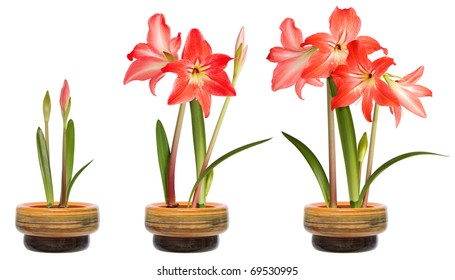 Hippeastrum in pot, stages of growth. Isolated on white background