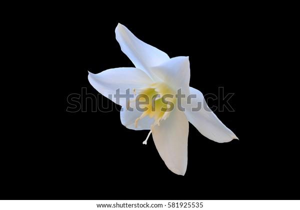 Hippeastrum White