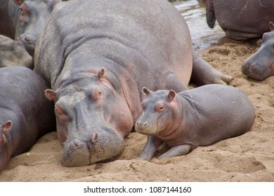 Hippo with baby by a river in Masai Mara Kenya