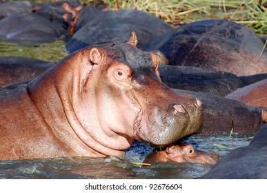 Hippo and baby in river, South Africa