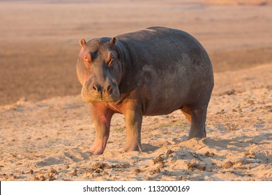 Hippo in beautiful, South Luangwa NP, Zambia