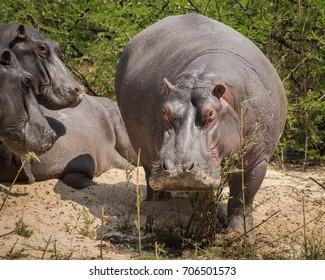 Hippo by The Zambezi River, Mosi-oa-Tunya National Park, Zambia