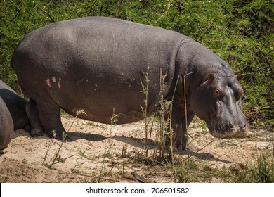 Hippo by The Zambezi River, Mosi-oa-Tunya National Park, Zambia