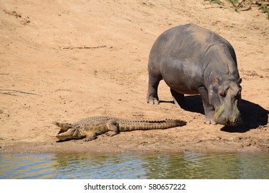 Hippo and Crocodile together in  peaceful coexistence in Southern Africa