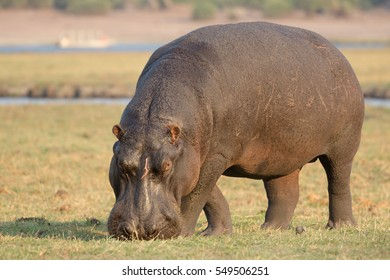 hippo eating grass in the river island at Chobe National Park, B