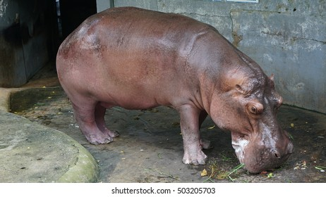 Hippo eats some grass on the floor and red sweat secretion on her body