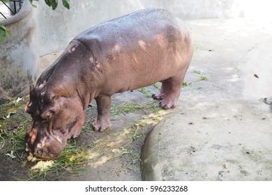 Hippo enjoying eating some green grass on the floor in the zoo, little hippopotamus