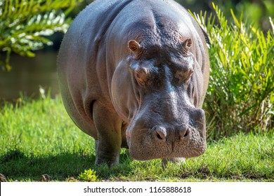 Hippo family (Hippopotamus amphibius) in National park of Kenya, Africa