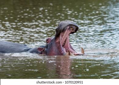 Hippo family (Hippopotamus amphibius) in the river. National park of Kenya, Africa