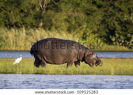 Hippo feeding out of water