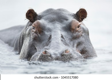 Hippo floating in water