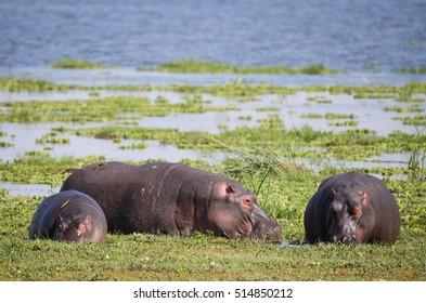Hippo in the green  mud Amboseli national Park Kenya