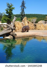 Hippo is the hardest last kind of cloven-hoofed game and the third heaviest land animal.  The adult male measures up to 360 cm, reaches a height at withers of 165 cm and weighs more than three tons.