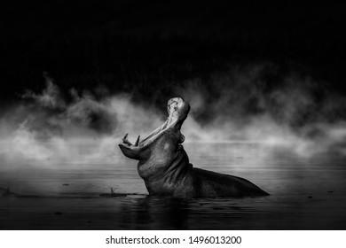 Hippo (Hippopotamus amphibius) in Murchison falls National Park, Uganda